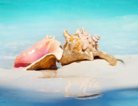 Queen Conch Shells on The Beach Sand  Caribbean