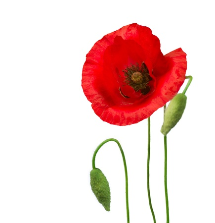 opium poppy: Poppy