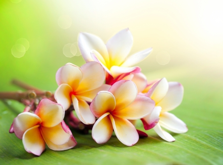 frangipani flower: Frangipani Tropical Spa Flower  Plumeria  Shallow DOF