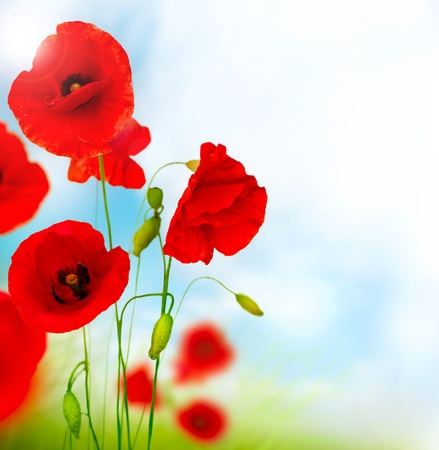 Poppy Stock Photo - 14306296
