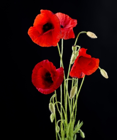 Red Poppy Flower Isolated on Black photo