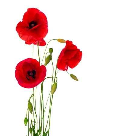 붉은 양귀비 꽃은 흰색 배경에 고립