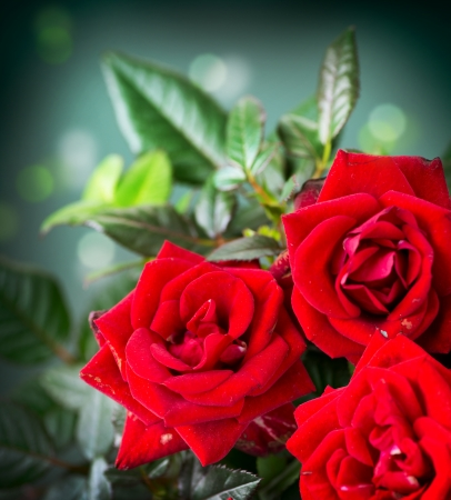red rose bokeh: Rose Flower Stock Photo