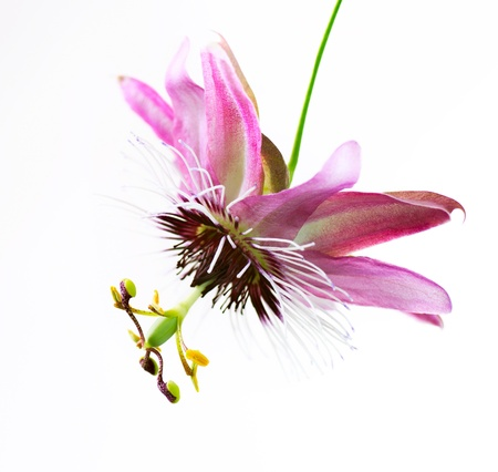 Passiflora bloem over white