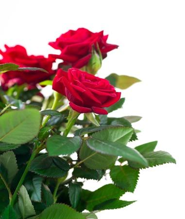 Roses Flowers Stock Photo - 14738430