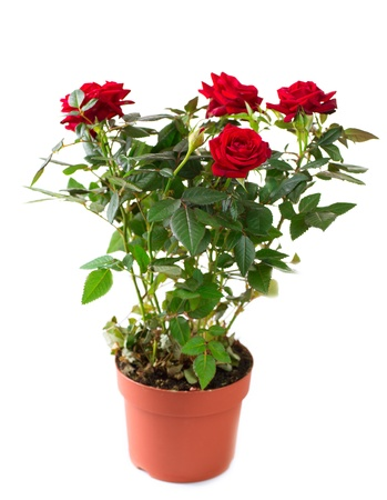 Rose Flower growing in the Pot  Gardening  photo