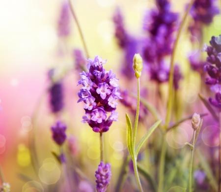 petites fleurs: Champ de lavande