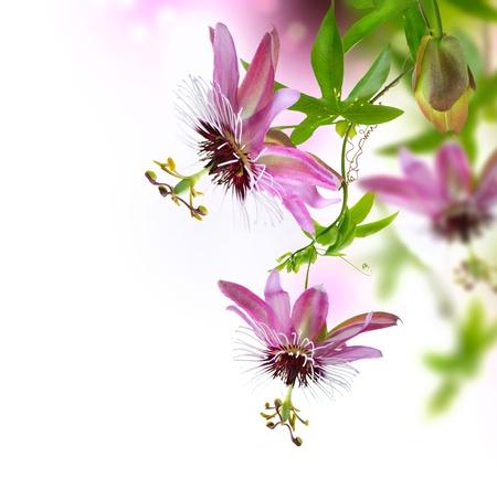 열정: PASSIFLORA 꽃