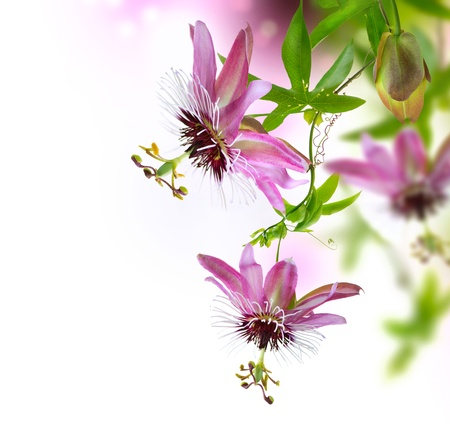 flores exoticas: Passiflora flor
