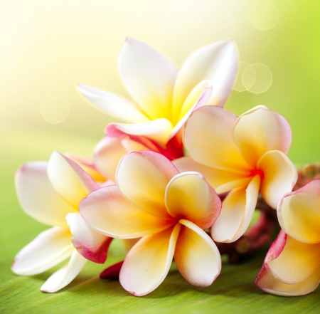 tropical flowers: Frangipani Tropical Spa Flower  Plumeria