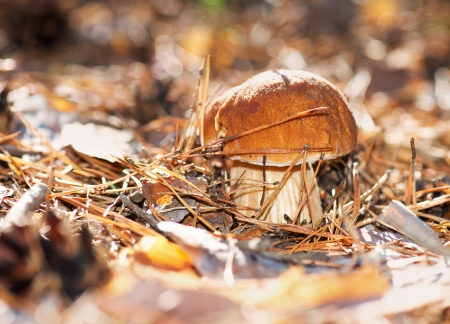 cep: Cep Mushroom Growing in Autumn Forest  Boletus