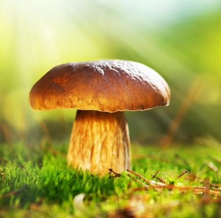 esporas: Hongos Cep Creciendo en oto�o Bosque de Boletus Foto de archivo