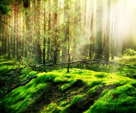 arbol de pino: Bosque Foto de archivo