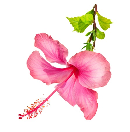flower art: Hibiscus Flower