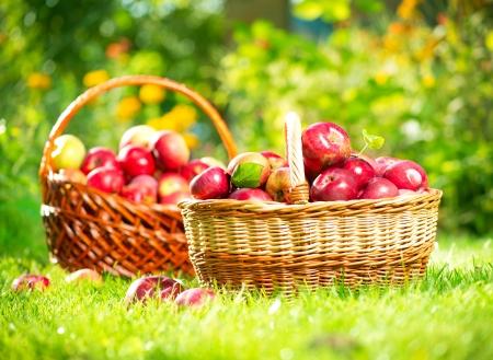manzana roja: Manzanas orgánicas en el Orchard Garden Basket Foto de archivo