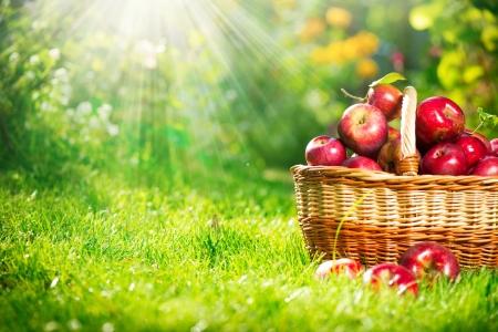cesta de frutas: Manzanas org�nicas en el Orchard Garden Basket Foto de archivo