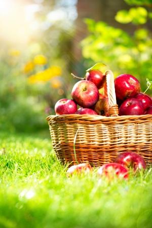 バスケットの果樹園の庭で有機性りんご 写真素材