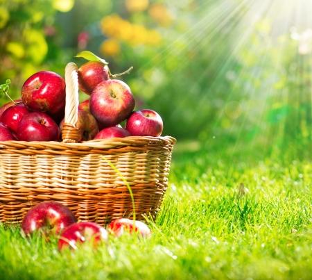 canastas con frutas: Manzanas org�nicas en el Orchard Garden Basket Foto de archivo