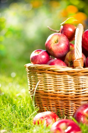 Pommes biologiques dans le verger panier