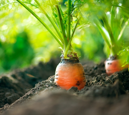 vegetable plant: Organic Carrots  Carrot Growing Closeup  Stock Photo