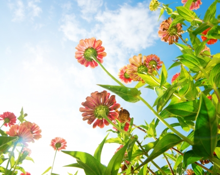 petites fleurs: Fleurs Plus de Blue Sky Fleurs de Zinnia fleurs d'automne Banque d'images