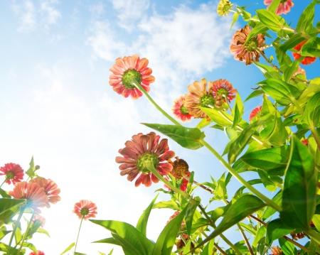 Flowers Over Blue Sky Zinnia Blume Autumn Flowers Lizenzfreie Bilder