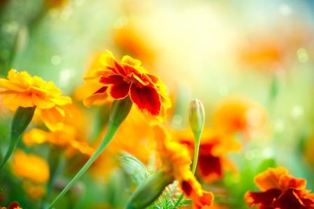 champ de fleurs: Marigold Tagetes fleur automne fleurs fond