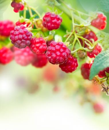 Raspberry Growing Organic Berries Art Design