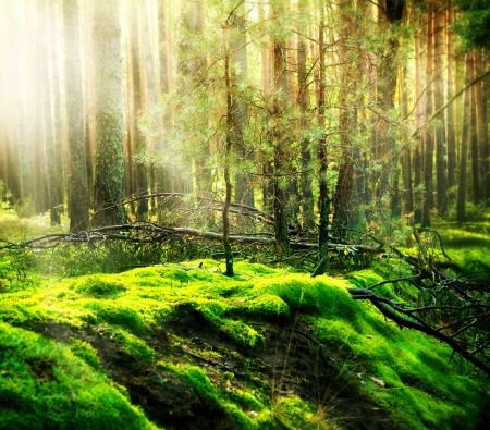 woodland scenery: Misty Old Forest  Stock Photo