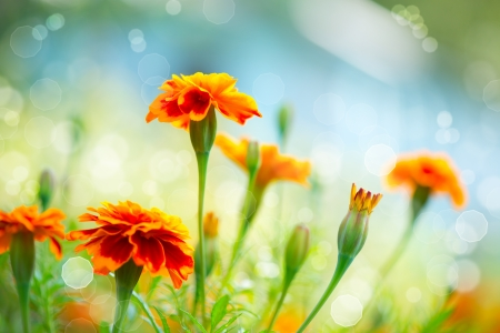 Tagetes Marigold Flower  Autumn Flowers Background