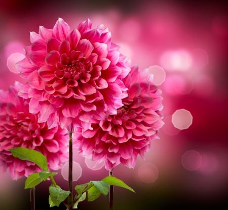 Fleures: Dahlia Automne Fleurs