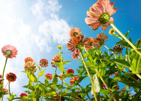 zinnia: Flowers Over Blue Sky  Zinnia flower  Autumn Flowers