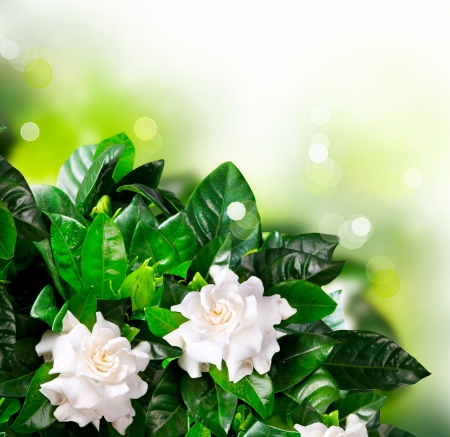 Gardenia Flowers  Jasmine Stock Photo - 15622385