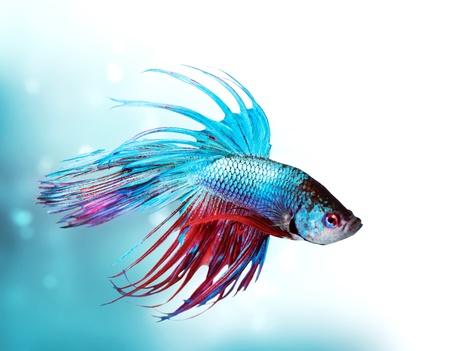 peces de acuario: Colorido Betta Fish primer drag�n peces de acuario Foto de archivo