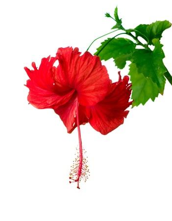 hibisco: Flor del hibisco