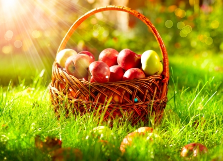 Organic Apples in the Basket  Orchard Stock Photo