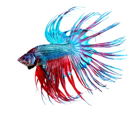 fish tail: Betta Fish closeup  Colorful Dragon Fish