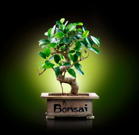 Bonsai isolated on Black background  photo