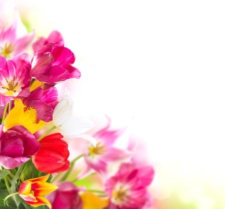 봄 꽃 흰색 튤립 무리 이상