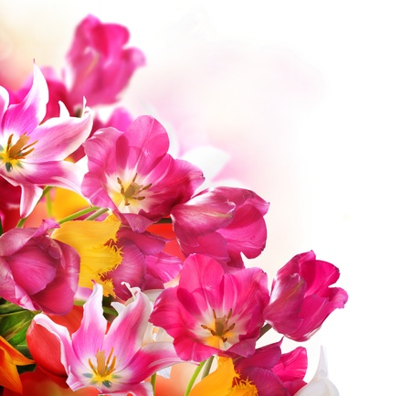 Spring Flowers over white  Tulips bunch  Stock Photo - 18696849