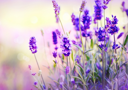 field of flowers: Lavender Field