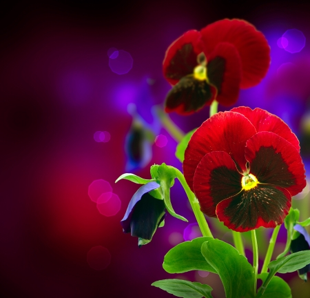 over black: Spring Flowers Pansy over Black  Stock Photo