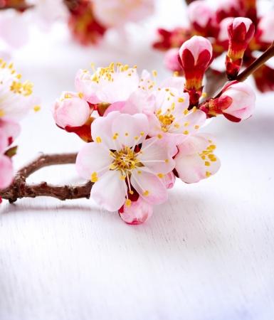 fleur de cerisier: Printemps fleur d'abricot Fleurs Banque d'images