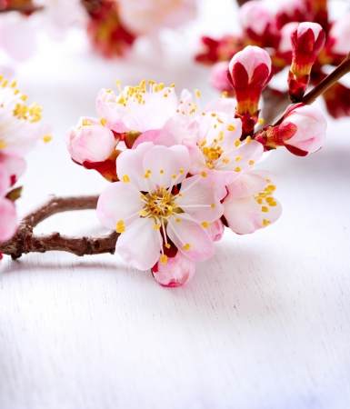 apricot tree: Spring Blossom  Apricot Flowers
