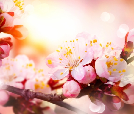 Spring Blossom  Apricot Flowers  photo