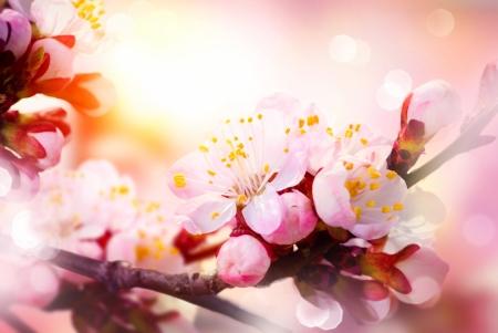 Spring Blossom  Apricot Flowers  photo