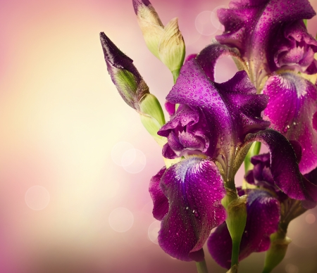 Iris Flowers Art Design  Beautiful Violet Flower  photo