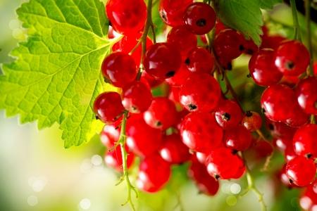 커런트 성장 잘 익은 신선한 유기농 빨간 건포도 열매 스톡 콘텐츠