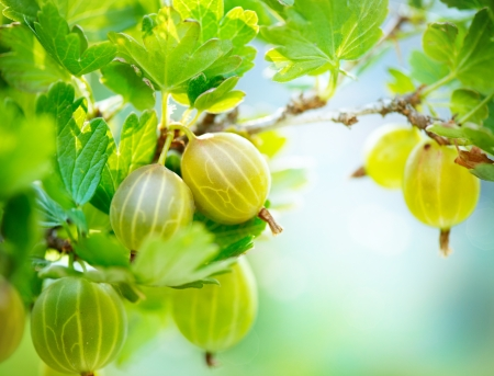 gooseberry: Gooseberry  Fresh and Ripe Organic Gooseberries Growing Stock Photo