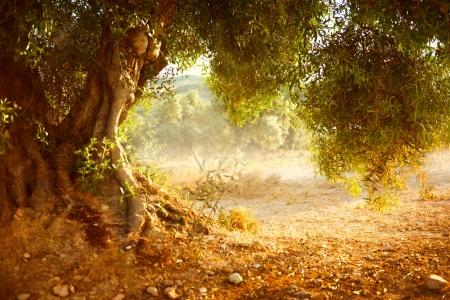 風景: 古いオリーブの木